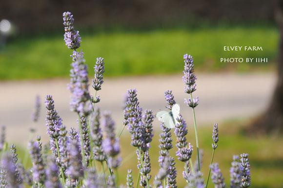 20140715elveyfarm14.jpg