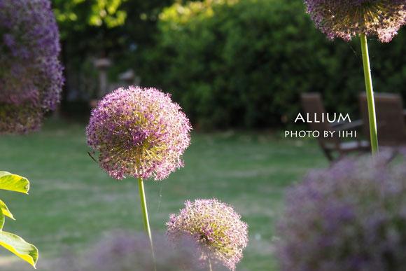Allium2015-3.jpg