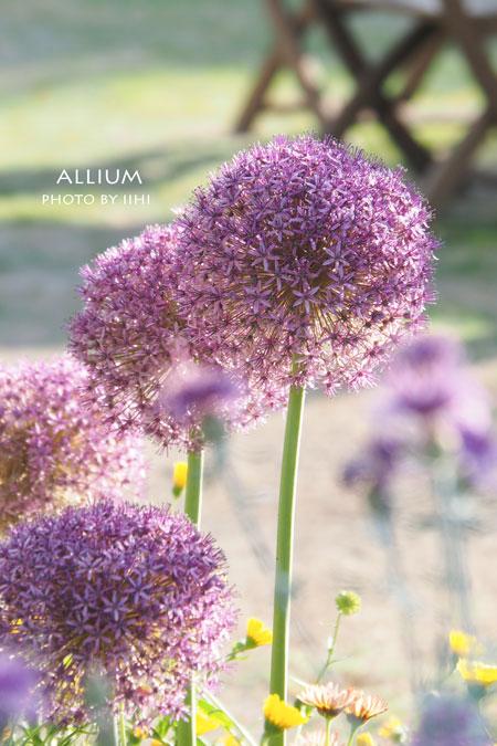 Allium2015-4.jpg
