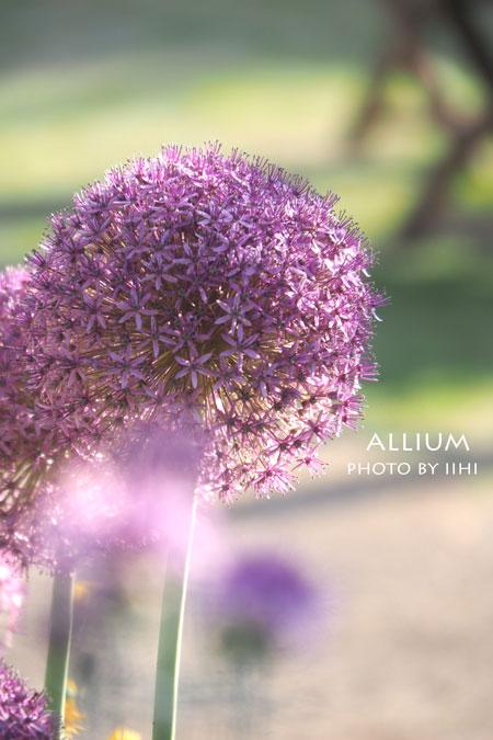 Allium2015.jpg
