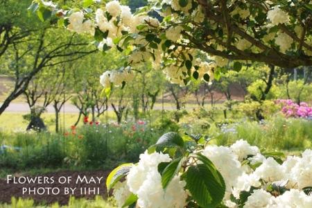 Flower of May2.jpg