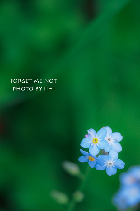 Forget-me-not_iihi20140121.jpg