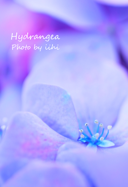 Hydrangea2012.jpg