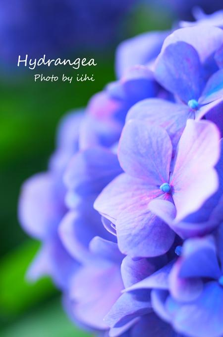 Hydrangea2012_2.jpg