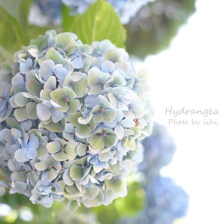 Hydrangea2012_3.jpg