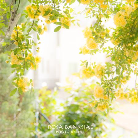 Rosa-banksiae1-2013.jpg