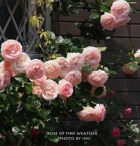 Rose-of-fine-weather.jpg
