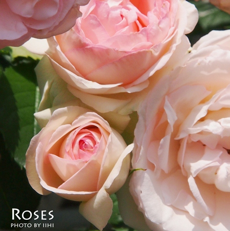 Rose-of-the-early-summer.jpg