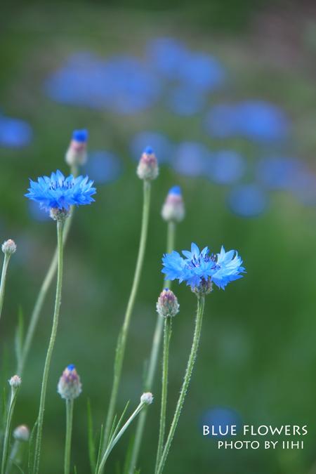 blowflowersmay2012.jpg