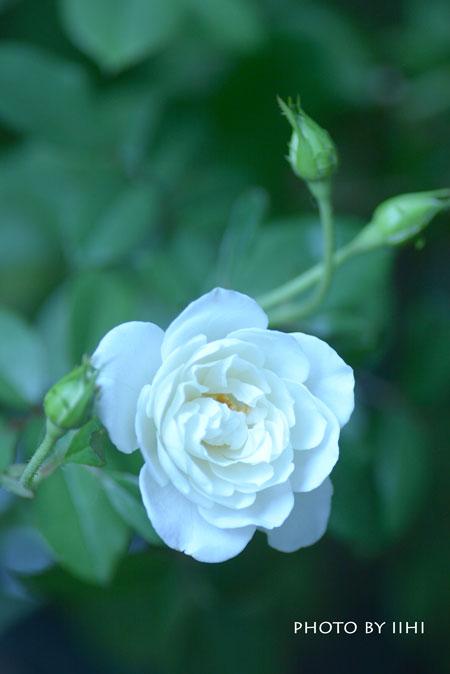 rosemorning2015.jpg