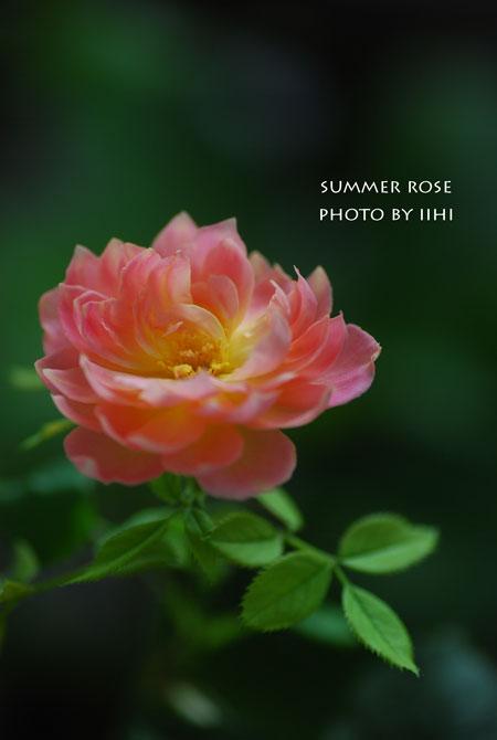 summerrose20150804.jpg