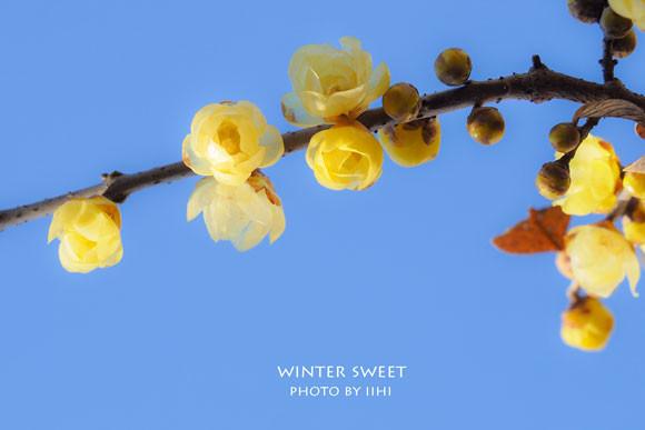 wintersweet.jpg