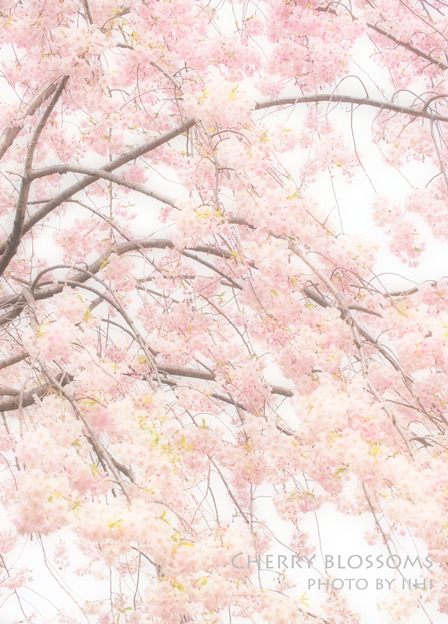Cherry-blossoms2012.jpg