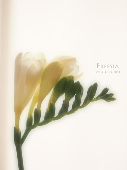 Freesia2012.jpg