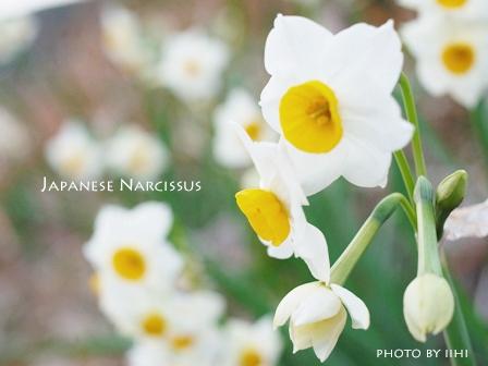 Japanese-narcissus-20110106.jpg