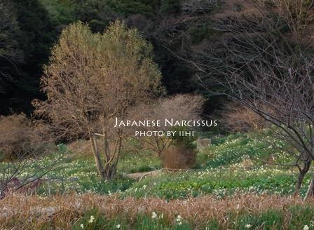 Japanese-narcissus20110106_1.jpg