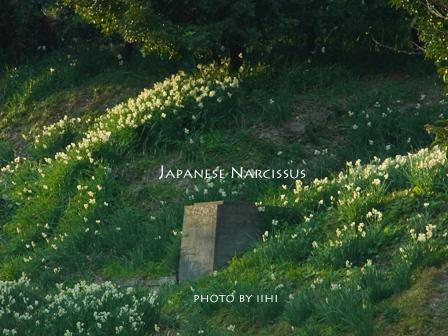Japanesenarcissus20110106-2.jpg