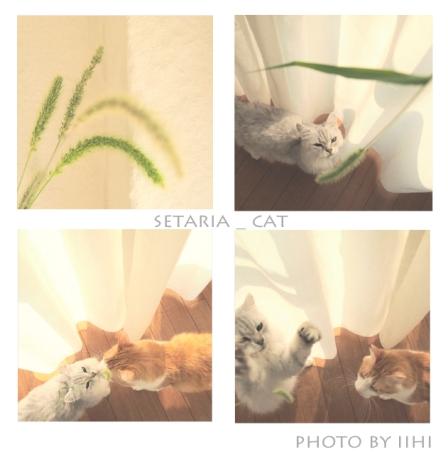 Setaria-and-cat.jpg