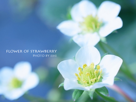 flowerofstrawberry20110111_1.jpg