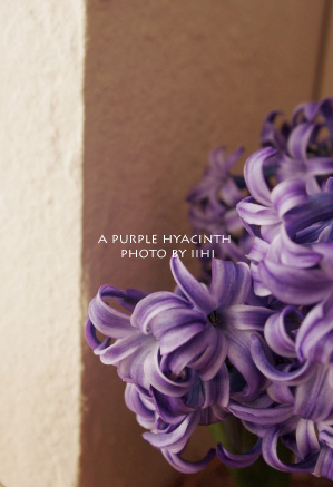 purple-hyacinth_1.jpg